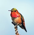 I Believe This is a Rufous Hummingbird
