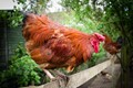 Norfolk Farm 2 - Farmyard