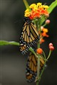Two Monarchs; Early Morning