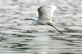 flying-egret