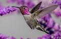 Anna's Hummingbird In The Salvia