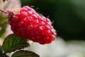 one lonely raspberry