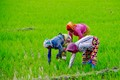 Assam - Paddy workers