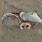 juv barn owl wingstretch 2016 2000x1500