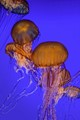 Whispy, Ethereal Jelly Fish