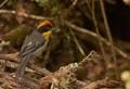 Matorralero Nuquirrufo (Rufous-naped Brush-Finch)