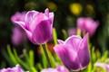 Tulipa Violet Beauty