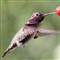 Hummingbird shot with Oly E-P2