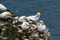 Taken at Bempton Cliffs.  The downpour started after I snapped this picture.