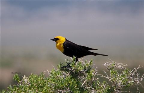 Yellow-headed Blackbird-SLV