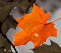 The sun behind the leaf creates a sunstar at the hole and a rim around the leaf