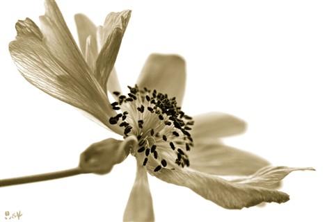 anemone_a