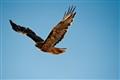 california hawk