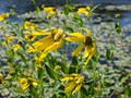 Smooth Oxeye Blowing in the Wind