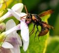 wasp in Raratonga