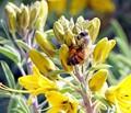 Honeybee Gathering its Pollen