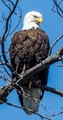 Bald Eagle watching me fish