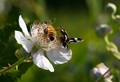 Two pollinators on a blackberry blossom.