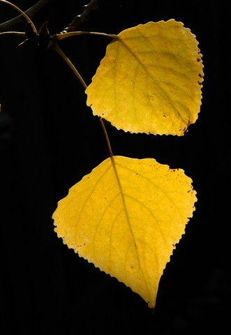 Poplar_Yellow_01
