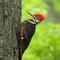 Pileated Wood Pecker (m) 1 Origwk1_MG_2554