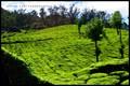 Lush Green Tea Gardens @ Munnar Kerela !