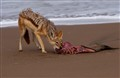 Jackal on the Skeleton Coast