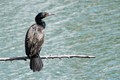 Cormorant resting after fishing