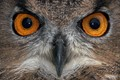 Eurasian Eagle Owl Closeup Portrait