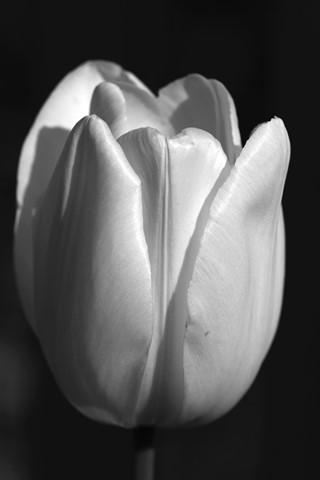 white tulip single