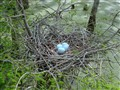 Great Egret Eggs