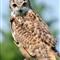 DGB_7985_Eagle Owl