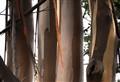 Morro Bay Eucalyptus