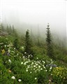Foggy Morning in Mt Ranier National Park