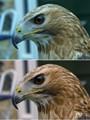 Colour Corrected Eagle