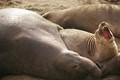 Elephant seals gathering at coast of San Simeon, California during a breeding season.