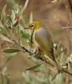 Grey-breasted White-eye