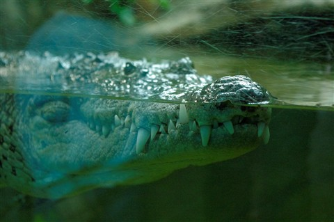 Croc Behind Glass