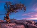 Pine Tree at Sunrise