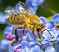 Honey bee sipping from forget me nots