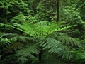 beautiful tree fern