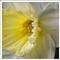 daffodils_0202h