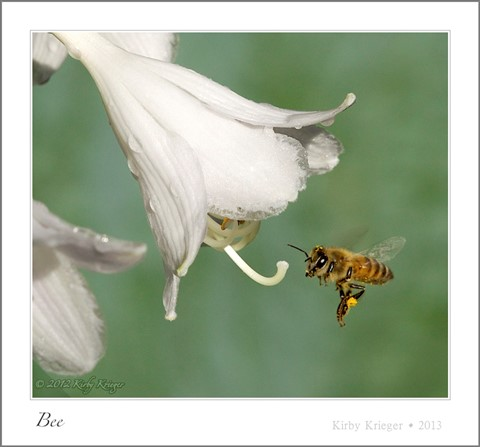 2010-06-10_KirbyKrieger_Bees_1 of 1