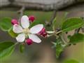 Braeburn Apple blosson