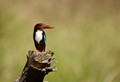Kingfisher - Ranthambhore Tiger Reserve - India