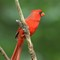 Cardinal (m) 2wk1 _MG_2333