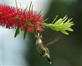 Bottle Brush Nectar