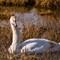 Mute Swan at Cedar Lake   001   01 27 17