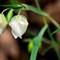 Globe lily