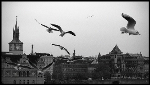 Seagulls over the Charles Bridge