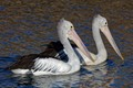 Pelicans swimming in sync